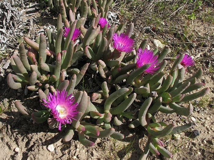 Esperance Wildflowers Carpobrotus Modestus Inland Pigface