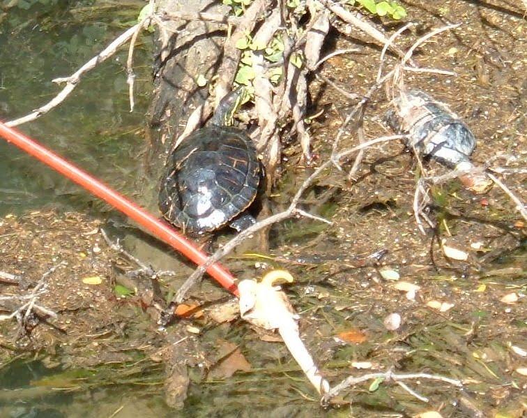 Le tartarughe ci seppelliranno for Vaschette tartarughe