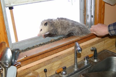 Possum in the window 1