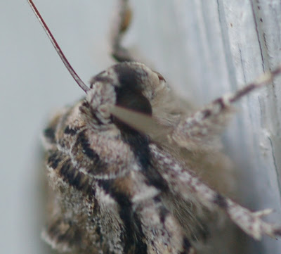 Underwing moth, head and thorax