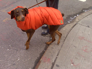Doberman wearing orange Canine Styles coat, Chelsea, NYC