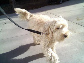 Labradoodle gets some sun in Stuy Town