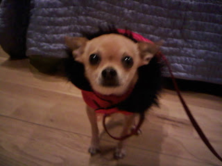 Chihuahua bundled up and ready for the east village