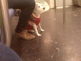 Dog with cone on L train, NYC