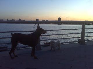 Doberman and Maltzu enjoy the sunset, chelsea piers, nyc