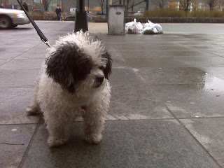 Wet sidewalks don't get this happy dog down! Battery park city, nyc