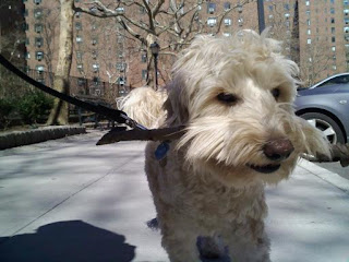 Labradoodle in stuy town