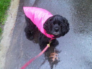 Cocker spaniel in her new pink raincoat, Stytown