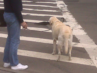 Yellow lab holds umbrella, west village, nyc