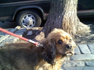 Cocker Spaniel - caught off guard? - in the East Village