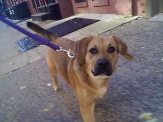 Beagle mix strolling down E 4th Street