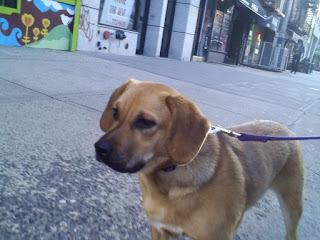 Beagle mix on 2nd Ave in the East Village