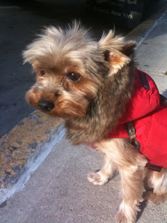 Yorkie, Cold Winter Day, Tribeca, NYC
