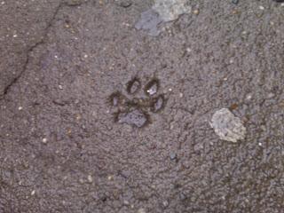 Paw print in cement sidewalk, Gramercy Park, NYC