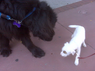 Big black dog meets little white puppy, tribeca, nyc