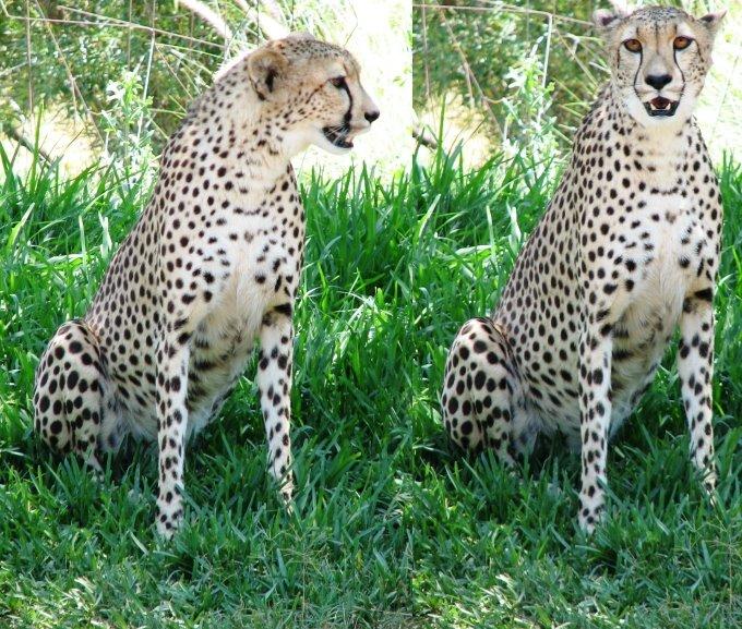 http://4.bp.blogspot.com/_K_7kE4-v9OQ/SIa2Pmyd5lI/AAAAAAAABwI/qoSmysUYK6Q/s1600/cheetah.jpg