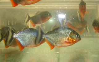 [食人魚種類介紹] 紅肚 Pygocentrus nattereri - Stanley's Life