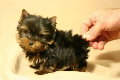 Miniature Yorkshire Terrier Yorkie Health Issues And Life Span