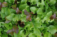 Mixed sallad leaves