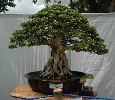 tropical bonsai indonesia ficus bonsai. Black Bedroom Furniture Sets. Home Design Ideas