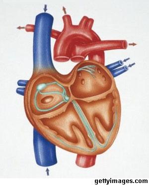 Mengetahui Cara Kerja Jantung