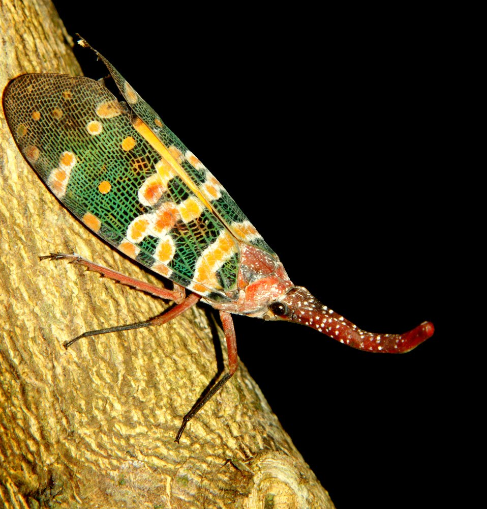 Photographic Wildlife Stories In UK/Hong Kong: Lantern Bug
