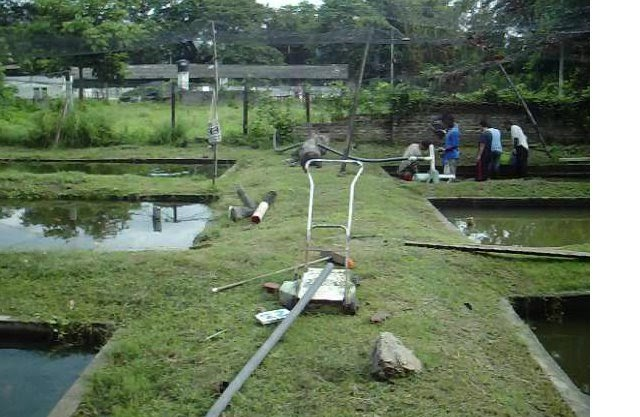 Acuiculturasenagaira proyecto tilapia roja for Proyecto de tilapia en estanques