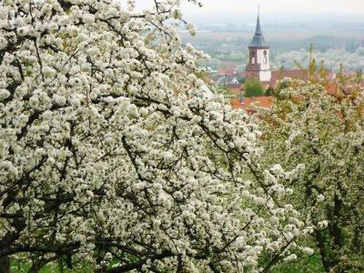 cerisiers en fleurs en alsace