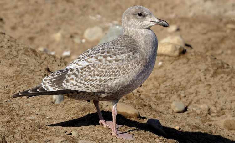 Thayer's Gull, Identification, All About Birds - Cornell ... |Thayers Gull