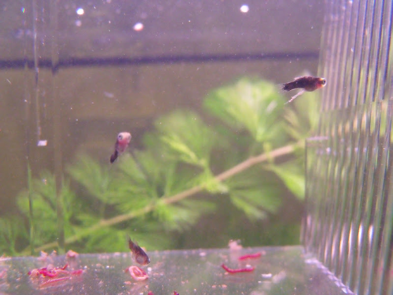 Platy Fry Now 3 Weeks Old