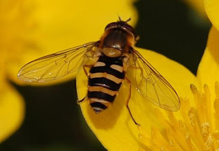 Hoverfly on a Marsh Marigold