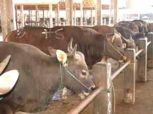 """budidaya ternak sapi potong pedaging perah viterna poc nasa hormonik"""