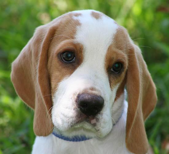 puppy beagle cute beagles puppies dog lemon neish joy very pup nice