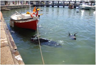 Lobos marinhos no porto de Punta del Este - Uruguai
