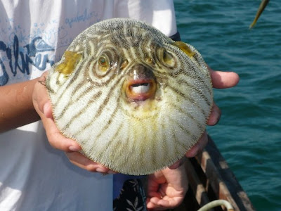 Ugly Overload Blowfish