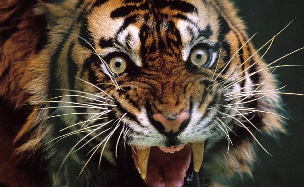ОЧЕНЬ ИНТЕРЕСНО! Тигры Людоеды! Документальный фильм - YouTube | 630x1024