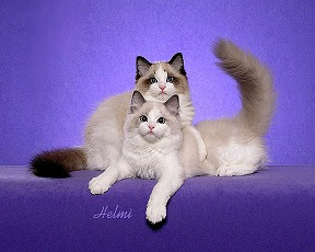 pointed and white cat