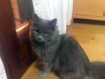 grey cat breed grey cat looks like a Persian