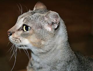 feral cat trimmed ear