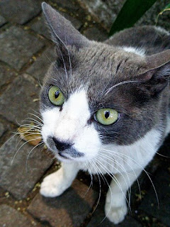 Grey And White Cat Breeds Poc