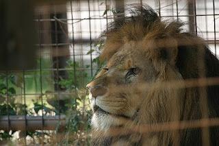 captive big cat