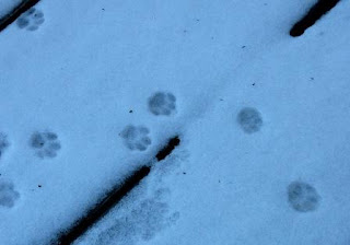 cat footprints in the snow