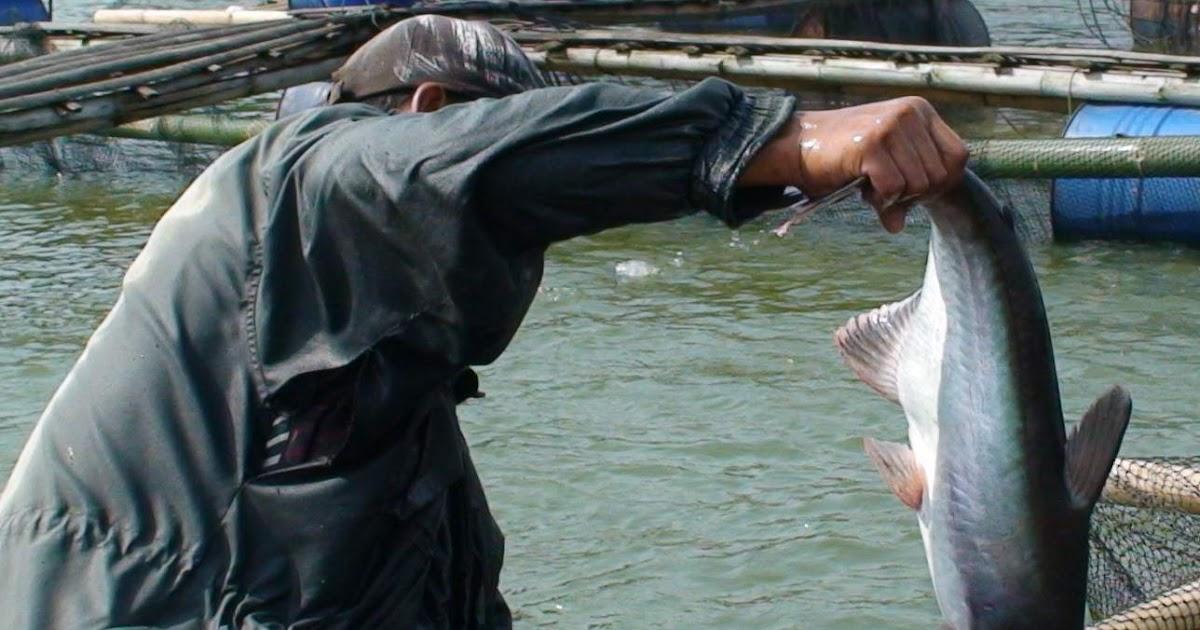Siperak Siperaup Dollar Mengenal 2 Macam Ikan Patin Super Bag 1