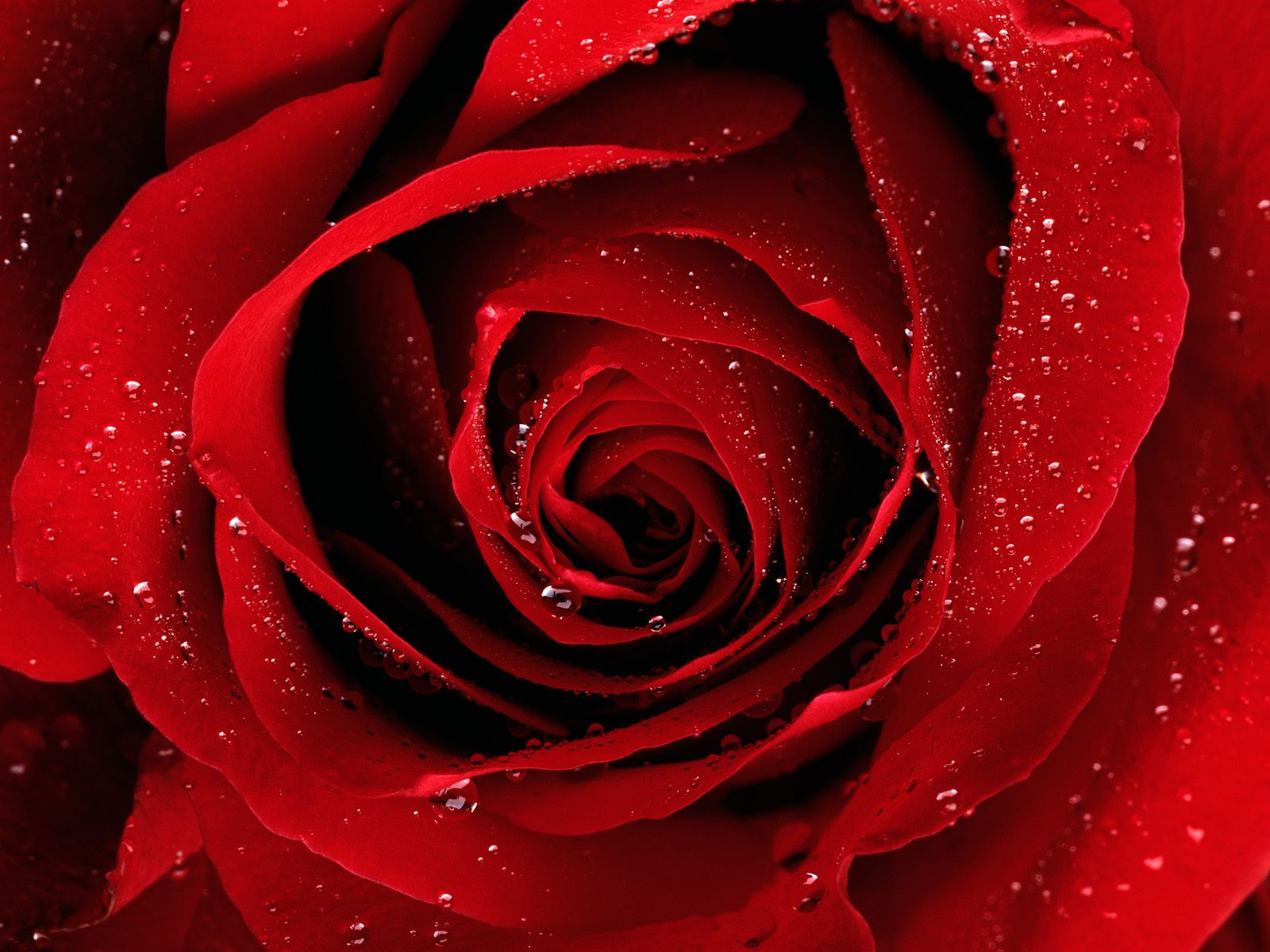 red%2Brose Wallpaper red rose garden
