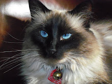 My little sweetheart/my Ragdoll cat