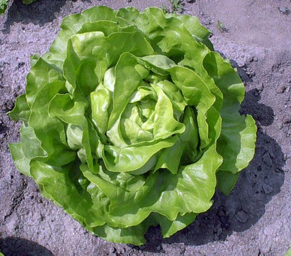 Ricette con la lattuga, la scheda e la cottura della lattuga
