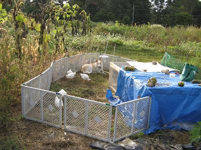 Urban Agrarian: chicken tractor in the garden