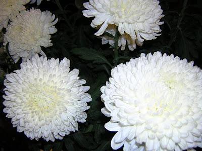 Fiori A Palla.Crisantemo Snodo Fiorista Mariangela