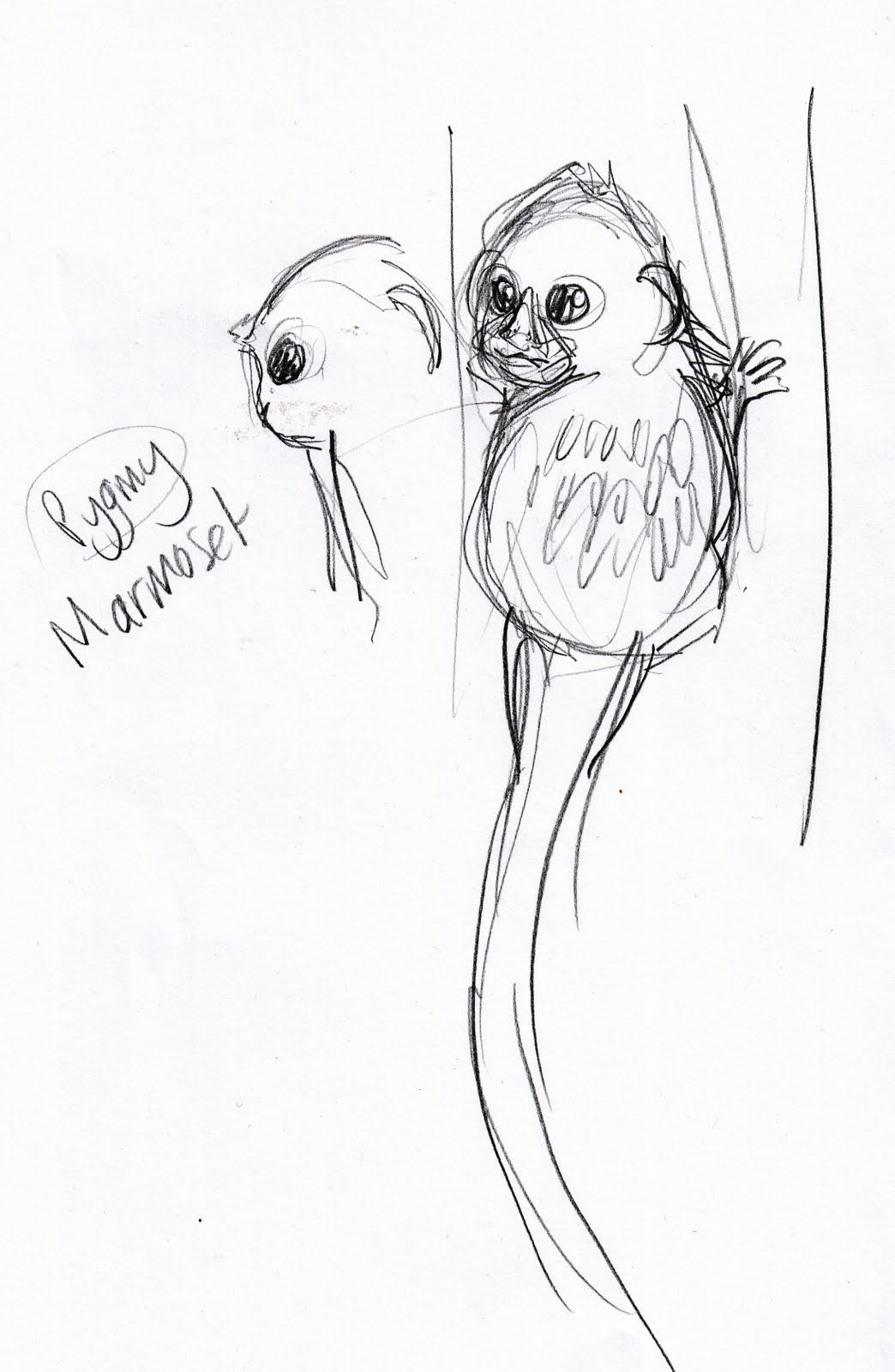 pygmy marmoset coloring pages - photo#16