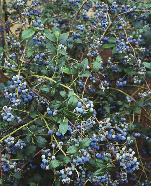 Mitchell's Nursery: Blueberry Bushes In The Landscape